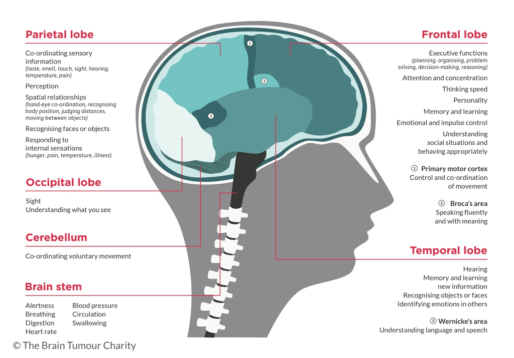 Brain Areas and Functions Graphic