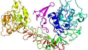 Cartoon diagram of the epidermal growth factor receptor (EGFR) (rainbow colored, N-terminus = blue, C-terminus = red) complexed its ligand epidermal growth factor (magenta) based on the PDB: 1NQL crystallographic coordinates.