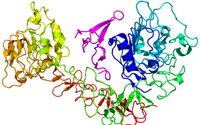 Cartoon diagram of the epidermal growth factor receptor (EGFR) (rainbow colored, N-terminus = blue, C-terminus = red) complexed its ligand epidermal growth factor (magenta) based on the PDB: 1NQL​ crystallographic coordinates.